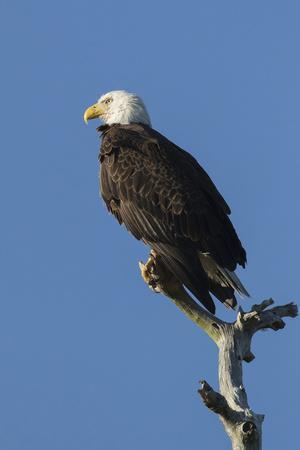 Adult Bald Eagle, Haliaeetus Leucocephalus, Sw Florida