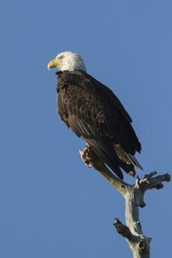 Adult Bald Eagle, Haliaeetus Leucocephalus, Sw Florida by Maresa Pryor