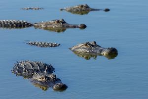 American Alligators at Deep Hole in the Myakka River, Florida by Maresa Pryor