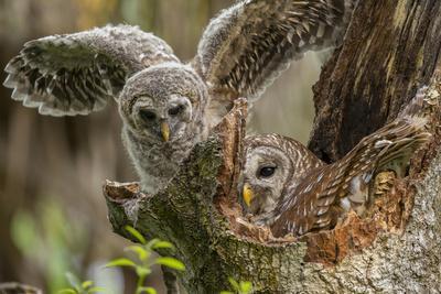 Baby Barred Owl Working around Nest in a Oak Tree Hammock, Florida