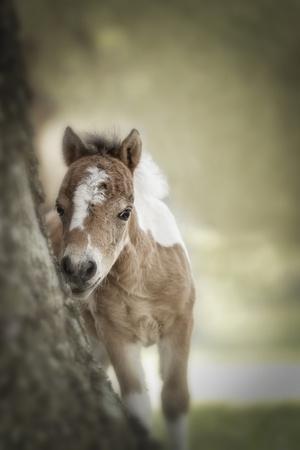 Baby Miniature horse paint colt