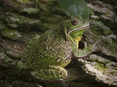 Barking tree frog on live oak tree, Hyla gratiosa, Florida by Maresa Pryor