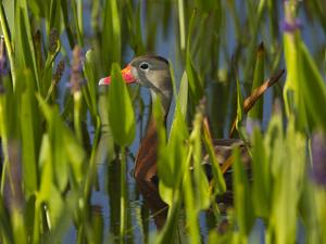 Black-Bellied Whistling Duck in Pickerel Weed, Dendrocygna Autumnalis, Viera Wetlands, Florida, USA by Maresa Pryor