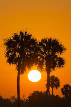 Cabbage Palms at Sunrise, Florida Bay, Everglades NP, Florida, Usa by Maresa Pryor