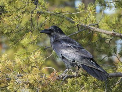 Common Raven, Corvus corax, Yellowstone, Montana, wild by Maresa Pryor