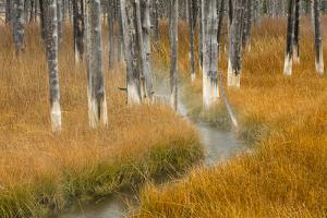 Dead trees killed from volcanic hot streams, Yellowstone National Park, Wyoming, USA by Maresa Pryor