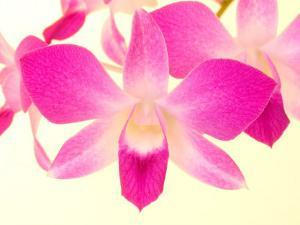 Dendrobium Orchid by Maresa Pryor