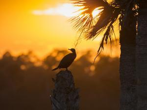 Double Crested Cormorant on Cabbage Palm, Viera Wetlands, Florida by Maresa Pryor
