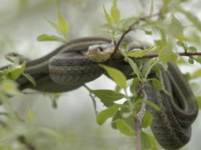 Eastern Garter Snakes mating, Ottawa National Wildlife Refuge, Ohio by Maresa Pryor