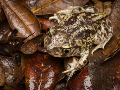 Eastern Spadefoot Toad, Scaphiopus holbrookii, Flordia, by Maresa Pryor