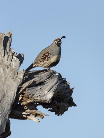 Gamble's quail, Callipepla gambelii, Bosque del Apache NWR, New Mexico by Maresa Pryor