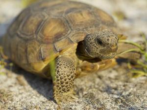 Gopher Tortoise, Gopherus Polyphemus, Wiregrass Community, Central Florida, USA by Maresa Pryor