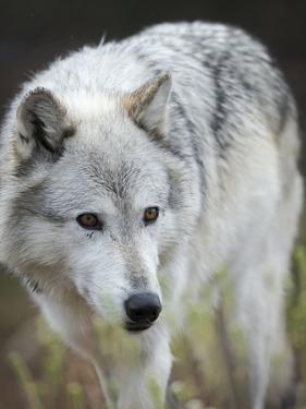 Gray Wolf, Canis Lupus, West Yellowstone, Montana by Maresa Pryor