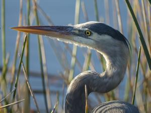 Great Blue Heron, Ardea Herodias, Viera Wetlands, Florida, Usa by Maresa Pryor