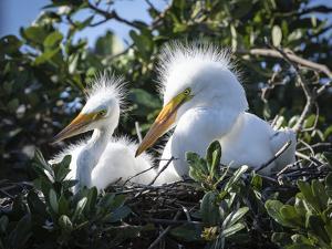 Great egret chicks, Florida, USA. by Maresa Pryor