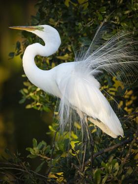 Great egret courtship, Florida, USA. by Maresa Pryor
