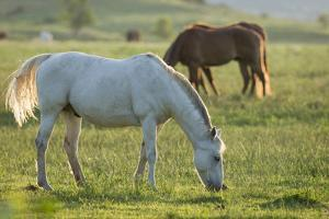 Horses Grazing before Sunset, Philmont Scout Ranch, Cimarron, New Mexico by Maresa Pryor