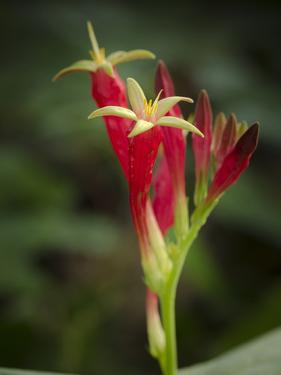 Indian Pink in flower, Spigelia marilandica, Florida wildflower by Maresa Pryor