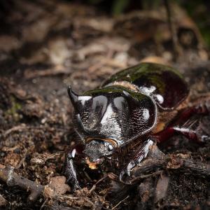 Major Ox, Elephant, or Hercules beetle showing horns, Florida by Maresa Pryor