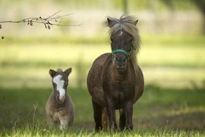 Miniature horse family by Maresa Pryor