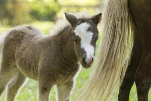 Miniature horse filly with mom, mare, by Maresa Pryor