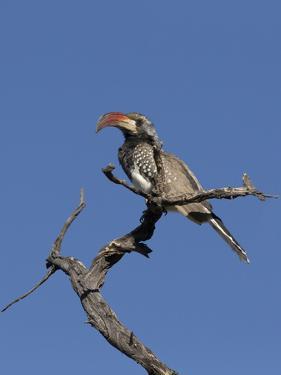 Monteiros Hornbill, Tockus Monteiri, Central Namibia by Maresa Pryor