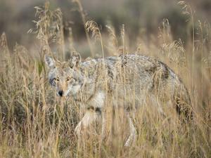 Mountain Coyote, Canis latrans Lestes, Grand Teton National Park, Wyoming by Maresa Pryor