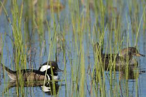 Pair of Hooded Mergansers, Lophodytes Cucullatus, Viera Wetlands, Florida, Usa by Maresa Pryor