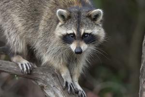 Raccoon, Procyon Lotor, Florida, USA by Maresa Pryor
