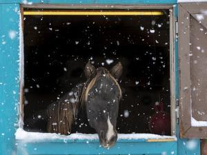 Rocky mountain looking out of stall during snow storm, New Mexico by Maresa Pryor