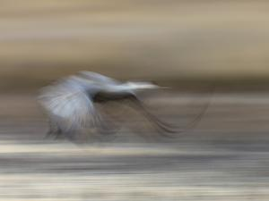 Sandhill Crane in motion Bosque del Apache NWR, New Mexico by Maresa Pryor