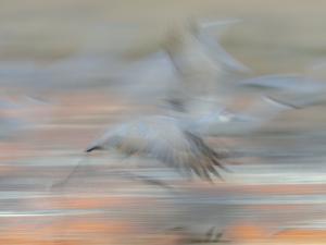 Sandhill Cranes in motion Bosque del Apache NWR, New Mexico by Maresa Pryor
