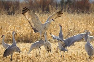 Sandhill Cranes in the corn fields, Grus canadensis, Bosque del Apache National Wildlife Refuge by Maresa Pryor