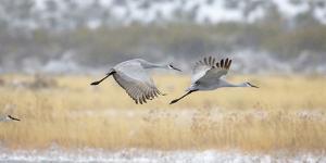 Sandhill Cranes Taking Flight, Bosque Del Apache, New Mexico, USA by Maresa Pryor