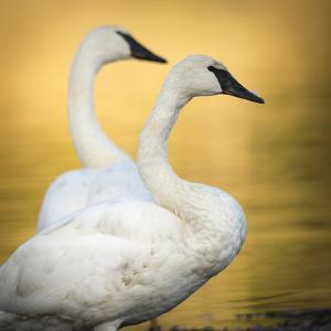 Trumpeter Swans, Yellowstone National Park, Wyoming by Maresa Pryor