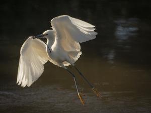 USA, Florida. Snowy egret flying up to nest. by Maresa Pryor