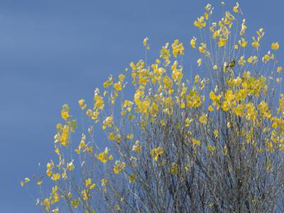 Western meadowlark on the fall aspen leaves. Bosque del Apache NWR, New Mexico by Maresa Pryor