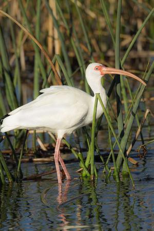 White Ibis in the Soft Stemmed Bulrush, Viera Wetlands, Florida