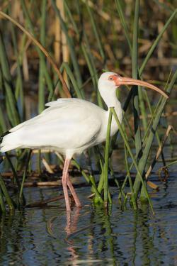 White Ibis in the Soft Stemmed Bulrush, Viera Wetlands, Florida by Maresa Pryor