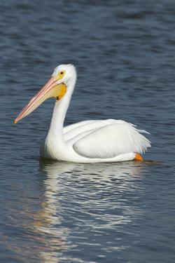 White Pelican, Viera Wetlands Florida, Usa by Maresa Pryor
