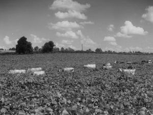 Herd of Cows Grazing in a Field of Fast Growing Kudzu Vines by Margaret Bourke-White