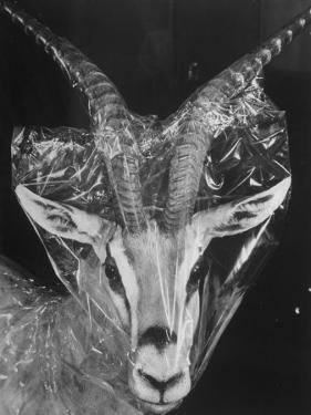 Robertsi Gazelle from Kenya Serengeti in Storage, American Museum of Natural History by Margaret Bourke-White