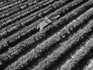 Subject: Aerial of Grape Harvest Workers. Fresno, California by Margaret Bourke-White