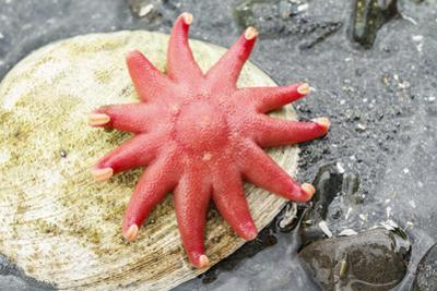USA, Alaska. A red sun star on a clam shell at low tide. by Margaret Gaines