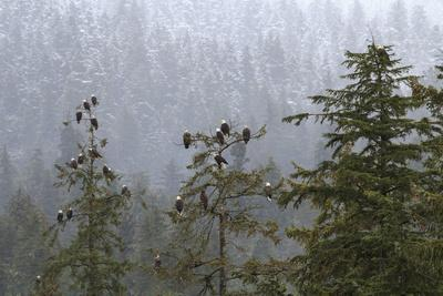 USA, Alaska. Bald eagles congregate in trees during