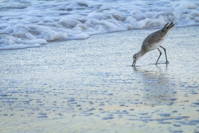 USA, Florida. A willet digs in the sand for food in the surf zone.