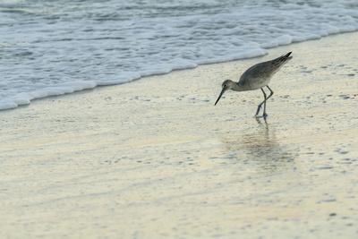 USA, Florida. Willet standing on a beach.