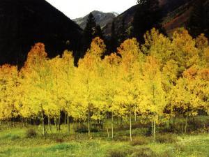 Brilliant Golden Aspen Trees in Rocky Mountains Near Silverton, Southwestern Colorado, USA by Margaret L. Jackson