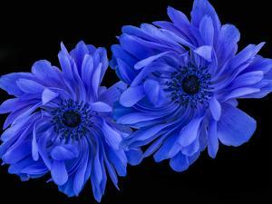 Blue Anemone by Margaret Morgan