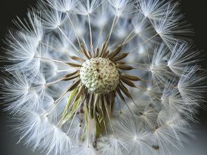 Dandelion Seed by Margaret Morgan